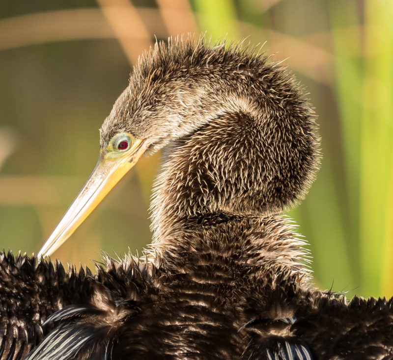 A female anhinga stands in the sun to dry her feathers