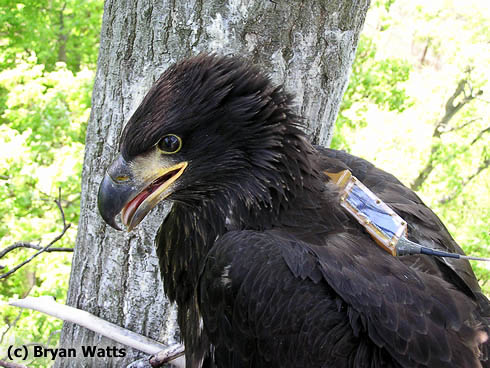 Bald eagle chick from Maryland fitted with transmitter