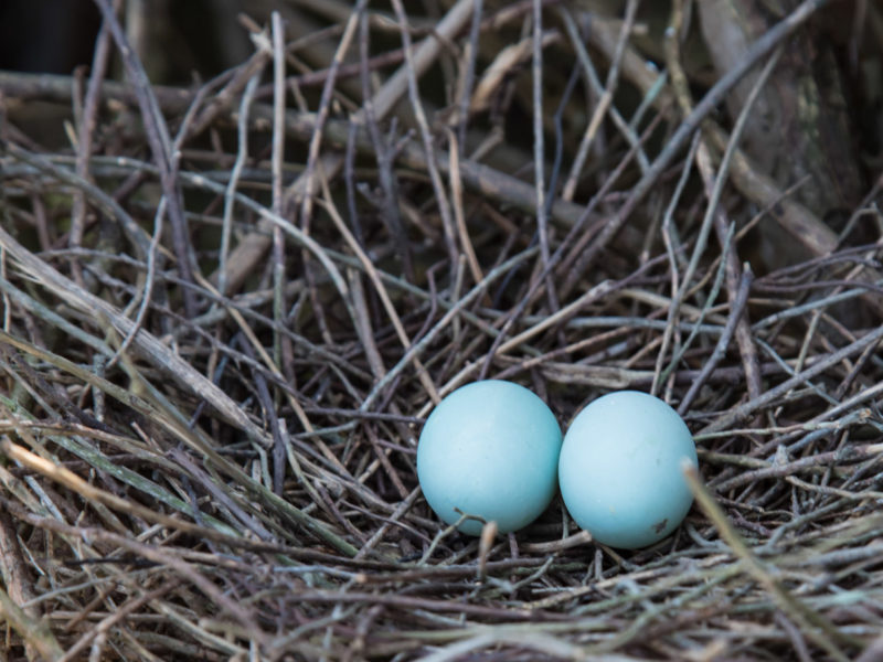 Beautiful eggs of the green heron in a nest along the James River.