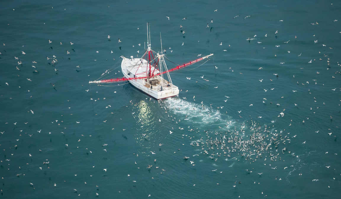 Brown pelicans, northern gannets and various gulls follow a commercial boat