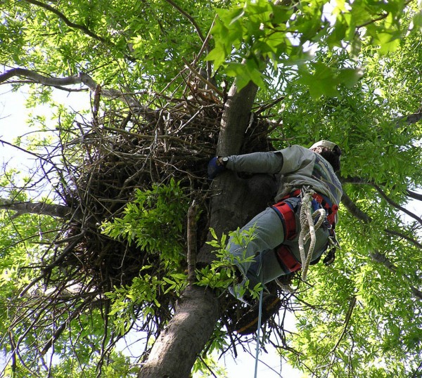 Bryan Watts climbs into bald eagle nest to retrieve chicks