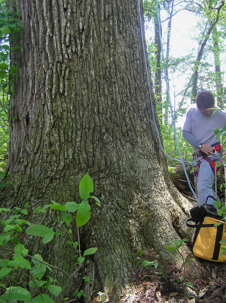 Bryan Watts prepares to rope climb the large oak on Spesutie Island
