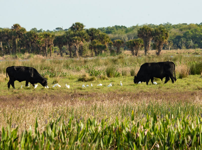 Cattle feed with egrets on a ranch in central FL