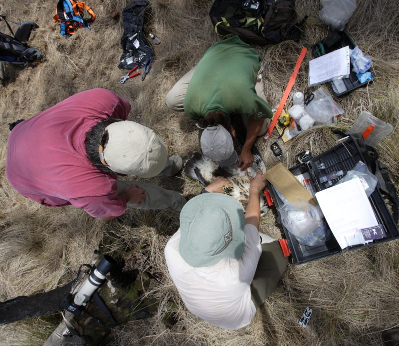 Bryan Watts, Maxi Galmes and Manu Grande work up a chaco eagle in the calden forest of Argentina.