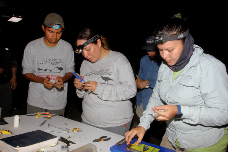 Christian Torres, Yenifer Díaz and Carol Gantes process shorebirds as Chance Hines records data.