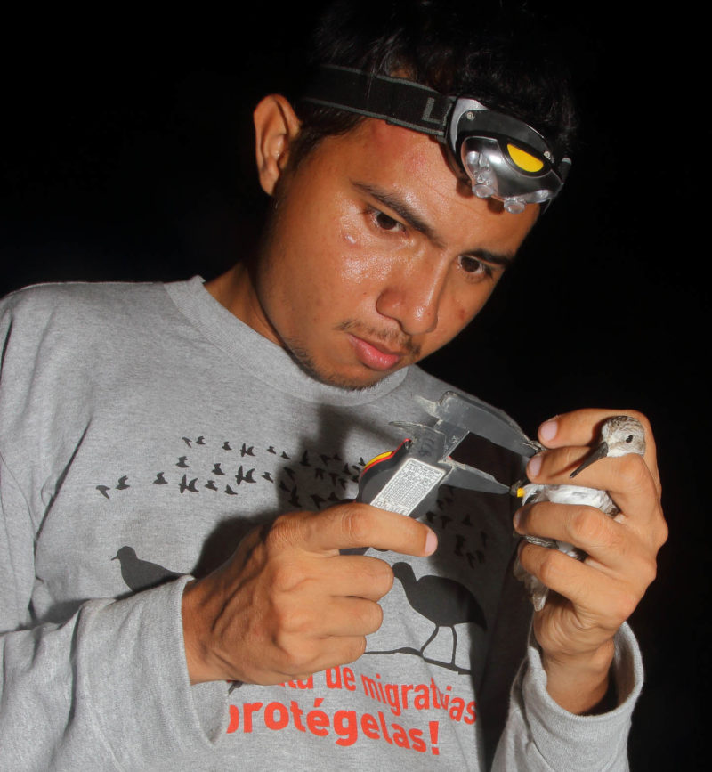 Christian Torres uses a dial caliper to measure the tarsus of a western sandpiper