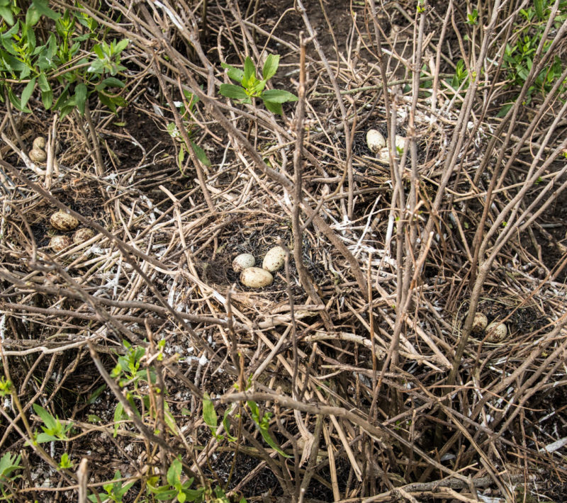 Clutches of white ibis eggs within the Chincoteague Causeway colony.