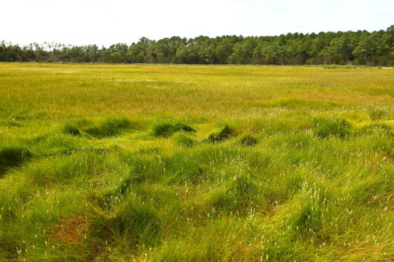 Conventional black rail habitat along the Atlantic Coast.