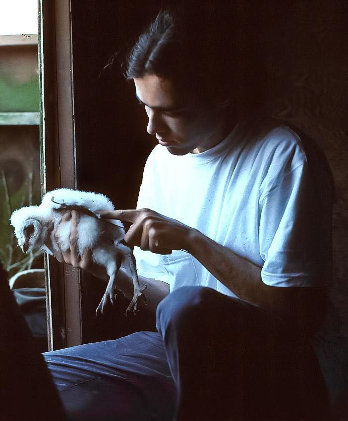 David Whelan bands a young barn owl