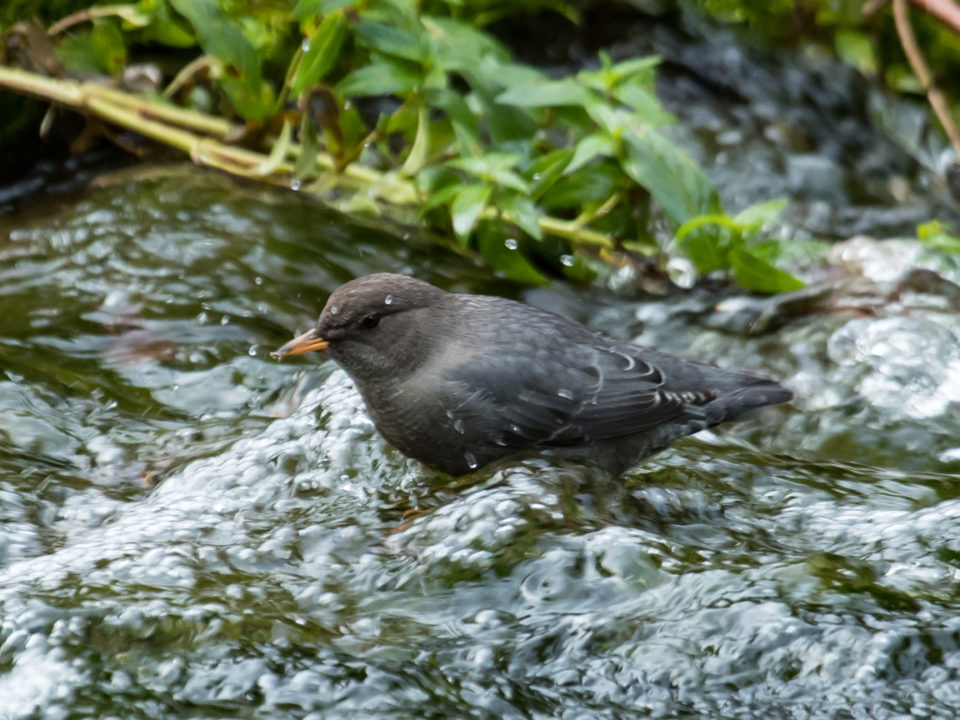 A dipper foraging in a clear mountain stream in the Black Hills.