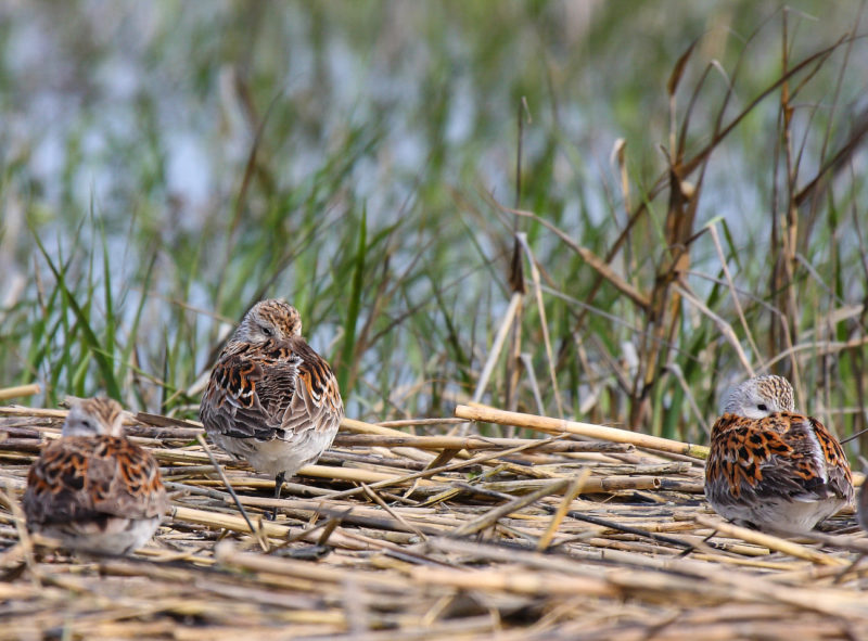 Dunlin roost and sleep on a line of wrack during high tide on the Chesapeake Bay in Virginia.