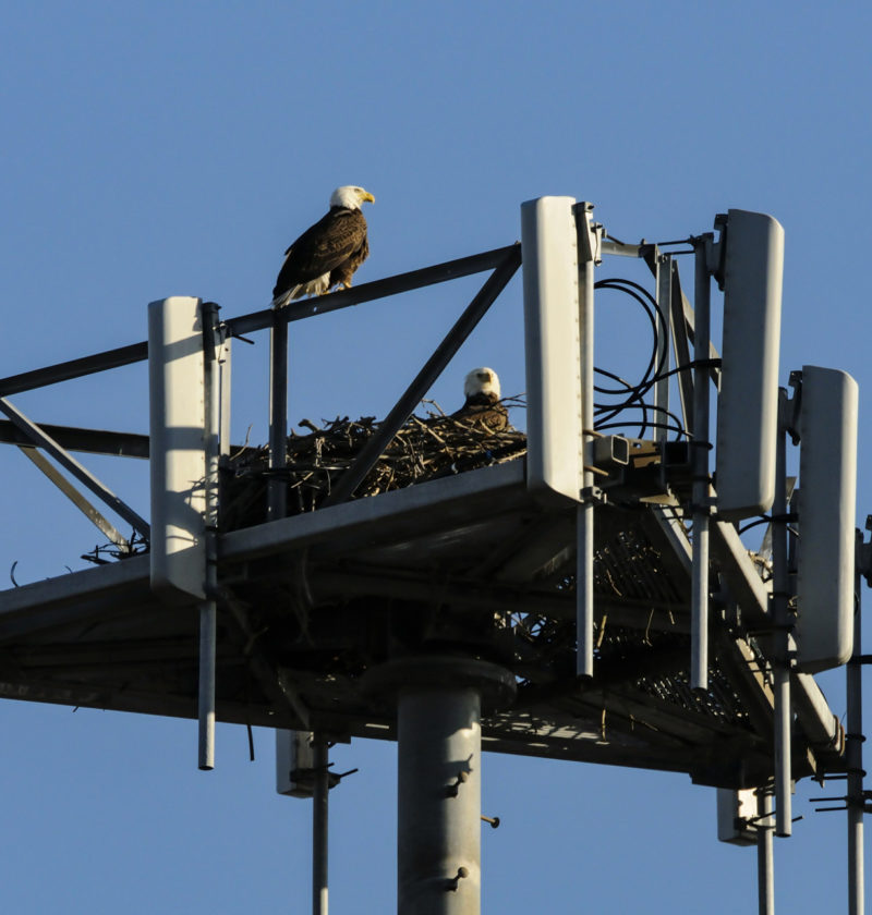 Bald eagle pair nesting on a cell tower in Virginia Beach.