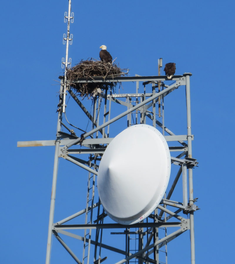 Eagle pair nesting on a tower in lower Tidewater