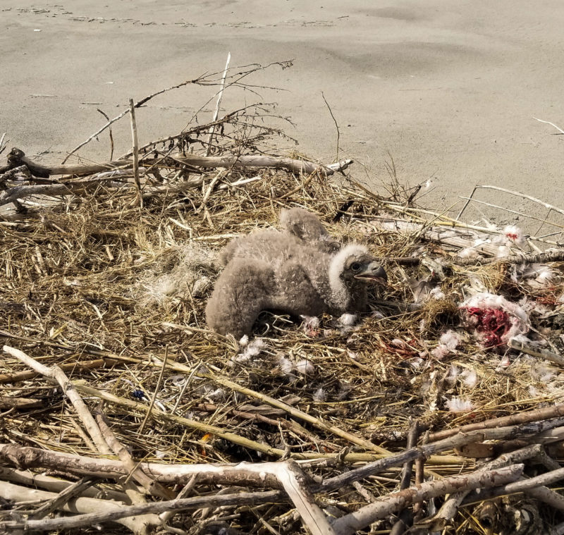 Eaglet in a new beach nest found on south Ship Shoal Island