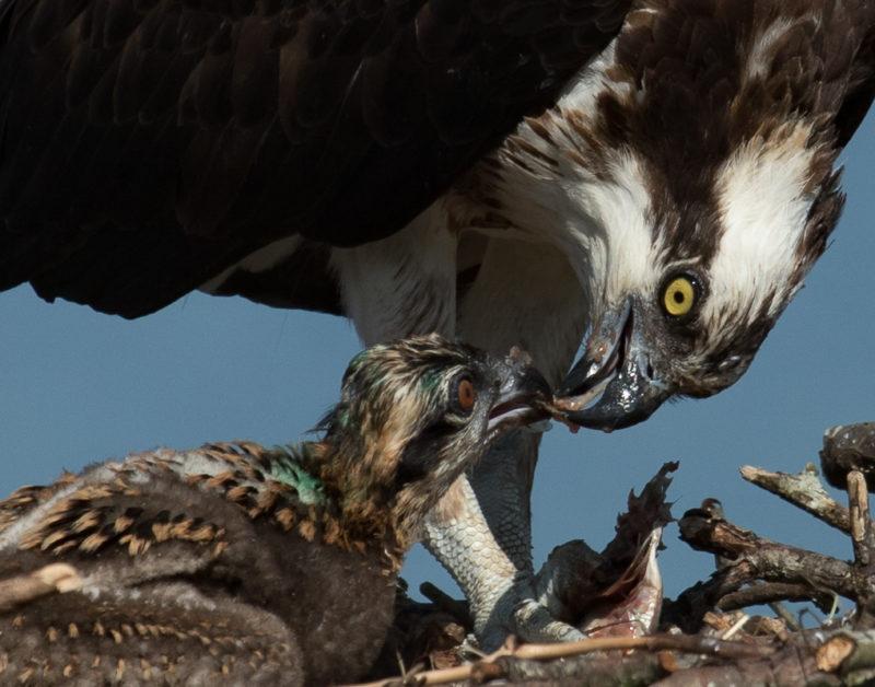 Female osprey feeding nestling with fish provided.
