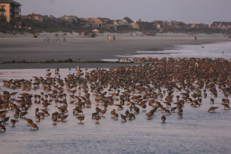 Flock of red knots foraging on Seabrook Island, SC while beach goers enjoy the beach.