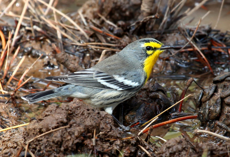 A Grace's warbler comes down to a spring in Utah for a drink.