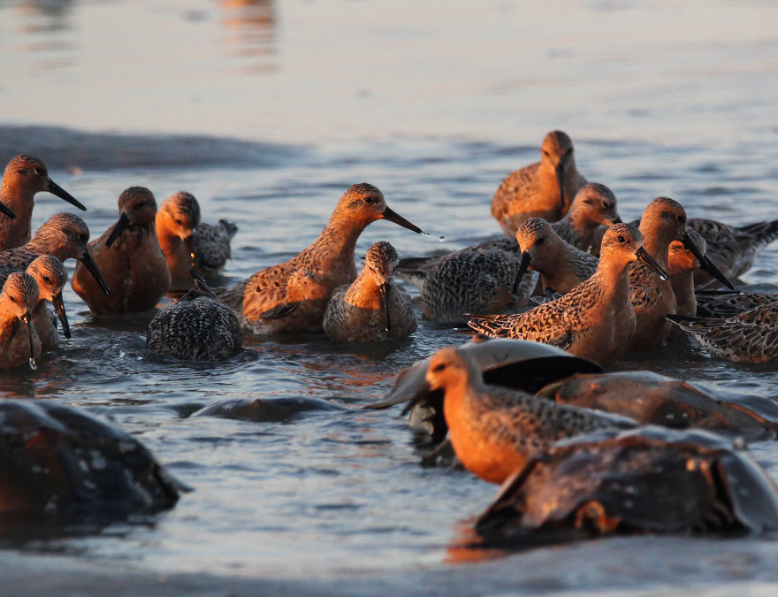 Group of red knots interspersed with spawning horseshoe crabs