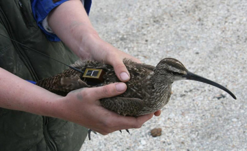 Hope with satellite transmitter after her initial capture on 19 May 2009