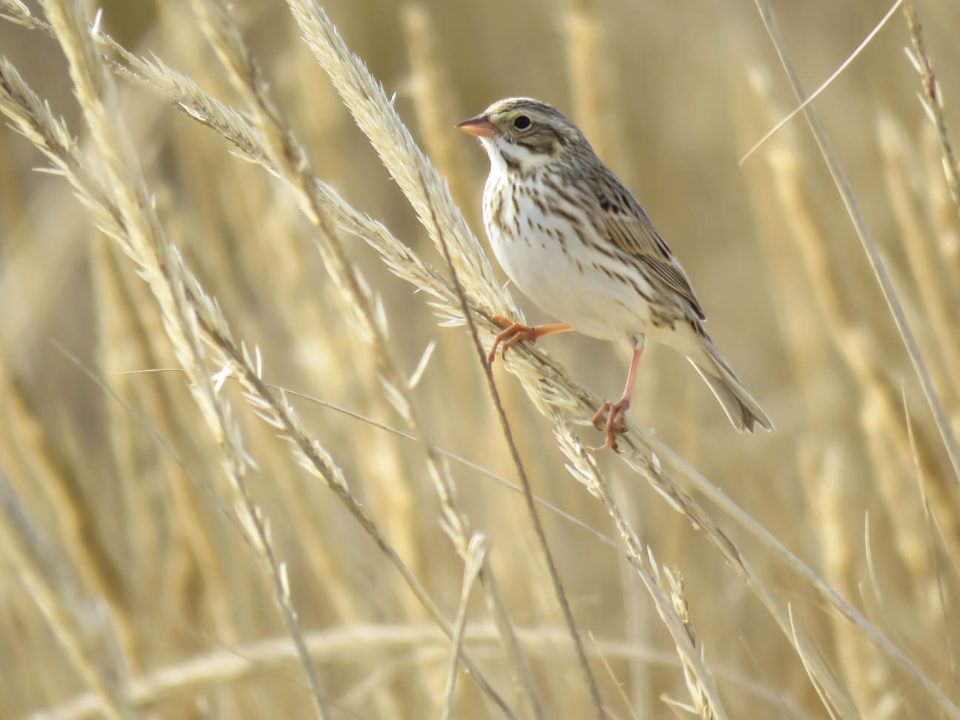 Ipswich sparrow on seed heads of American beach grass.