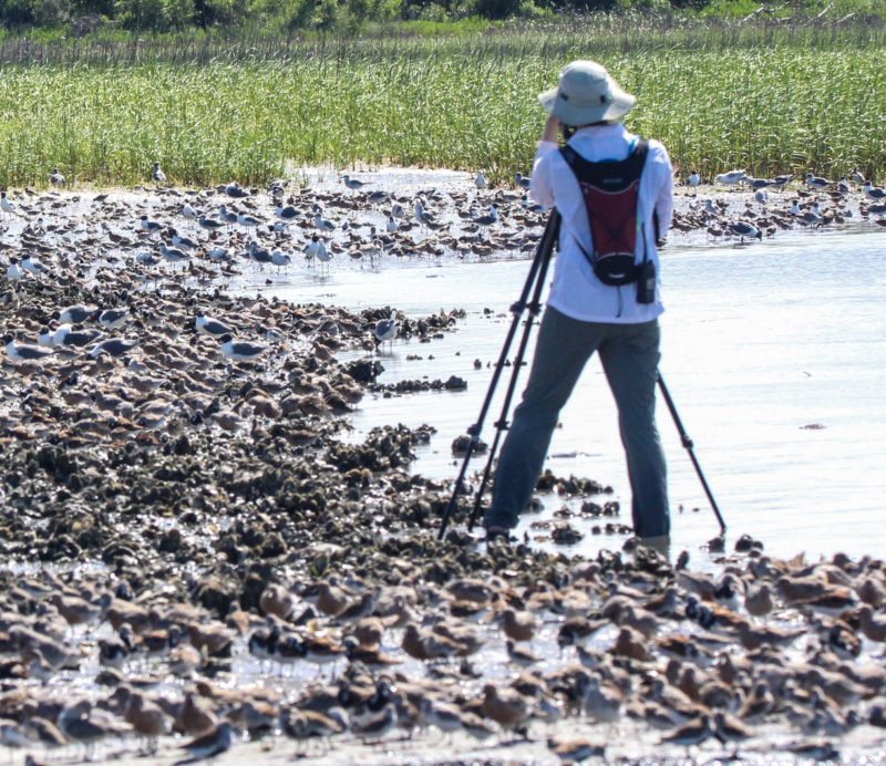 Katherine Studholme scans through staging red knots while surrounded by shorebirds
