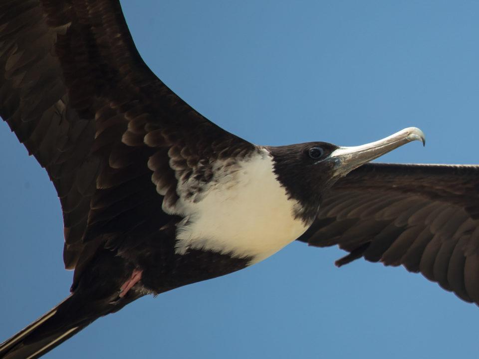 Magnificent Frigatebird was one of dozens of waterbirds surveyed along the Pacific coast of Panama