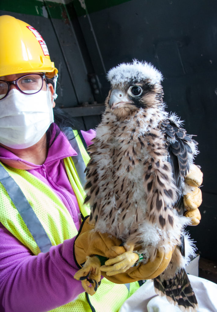 Marian Watts during the Covid-19 pandemic holds a peregrine falcon