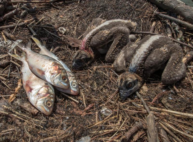 Menhaden added to an osprey nest on Mobjack Bay.