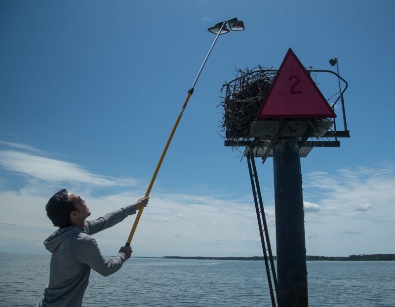 Michael Academia uses a mirror pole to check on the status of an osprey nest