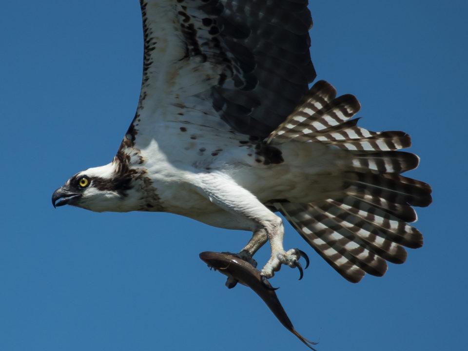 Osprey with menhaden