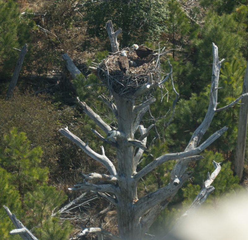 "Pair of eagles using what was left of ""Big Boy"" before the stump toppled over."
