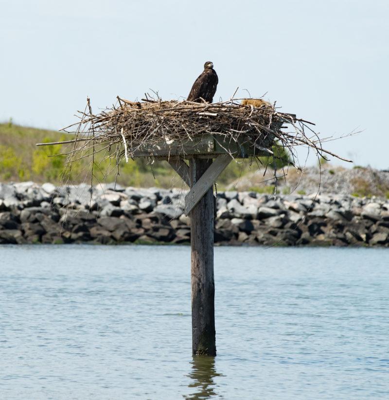 A single eagle nestling stands on an osprey platform