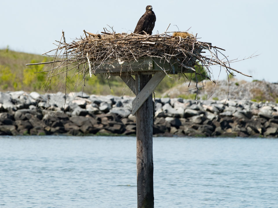 A single eagle nestling stands on an osprey platform