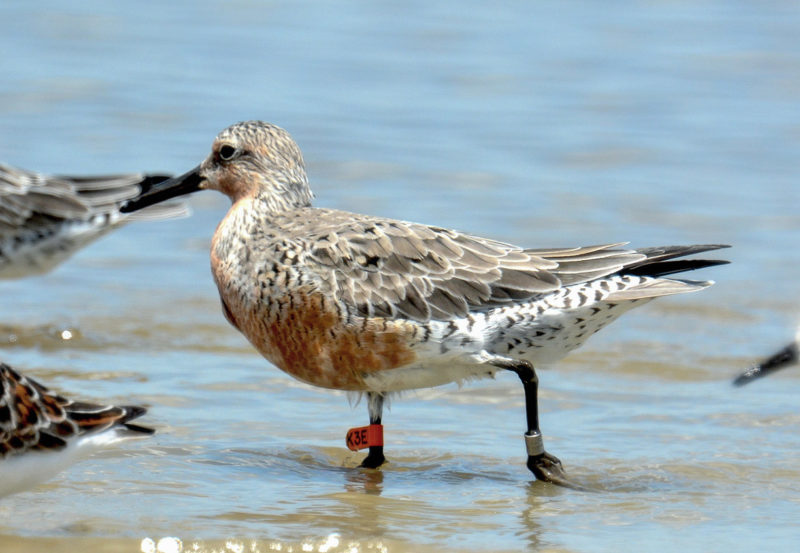 Red knot K3E, banded in Argentina forages in the surf along the Georgia coast.