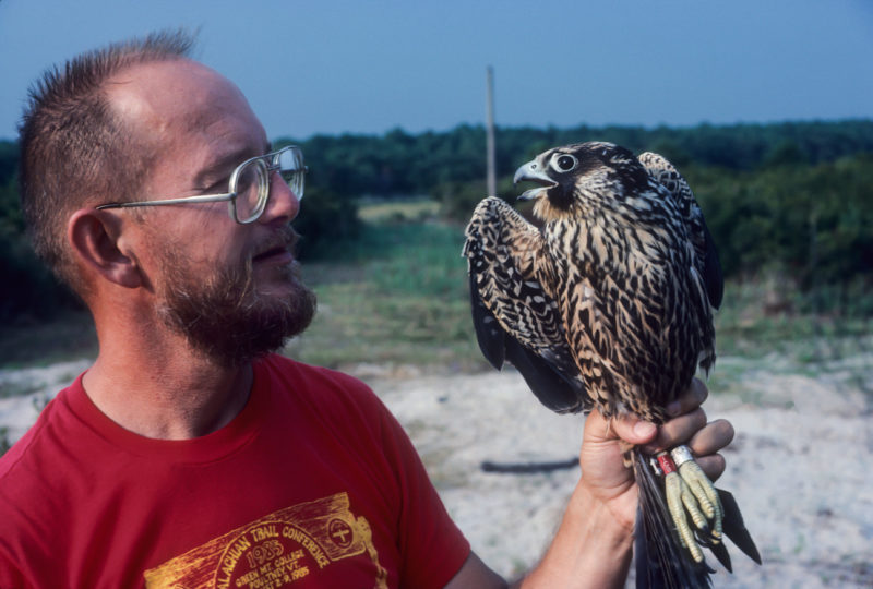 Reese Lukei with a peregrine falcon trapped during the fall at Wise Point.
