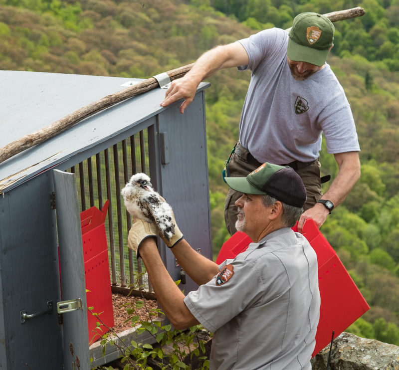 Rolf Gubler and Alan Williams place a young peregrine in a hack box on Franklin Cliffs within Shenandoah National Park