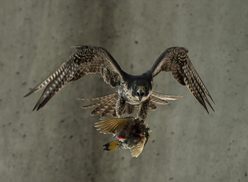 Second-year female peregrine falcon with northern flicker presented to it by a male