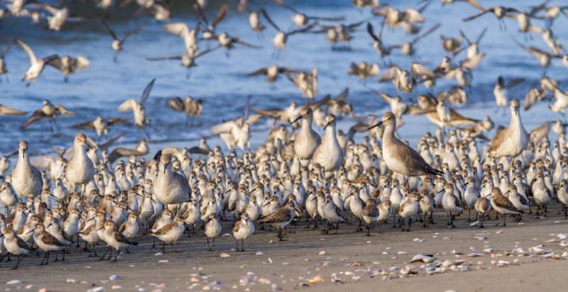 Shorebirds arrive with the incoming tide to congregate in a high-tide roost along the shoreline in Pacora along the upper bay of Panama.