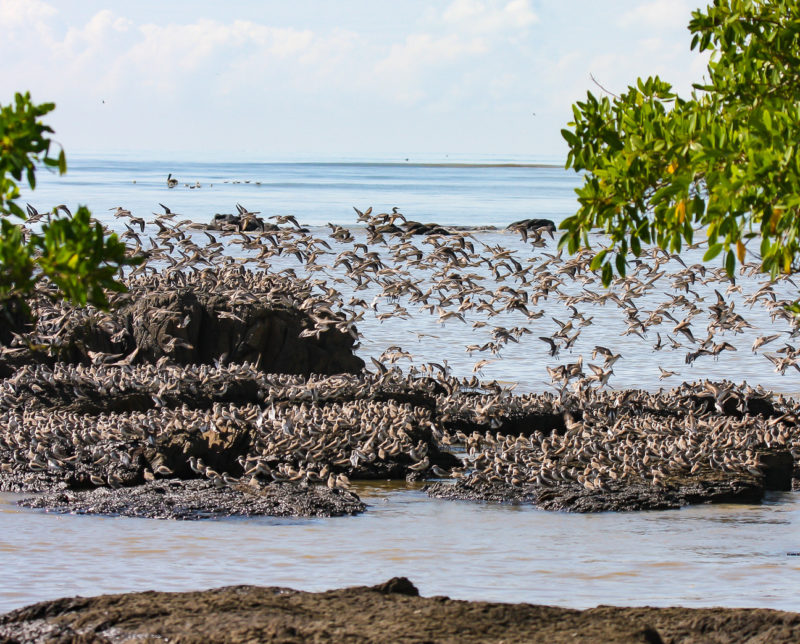 Shorebirds roosting on a rock outcrop near the village of Playa Leon in Panama.