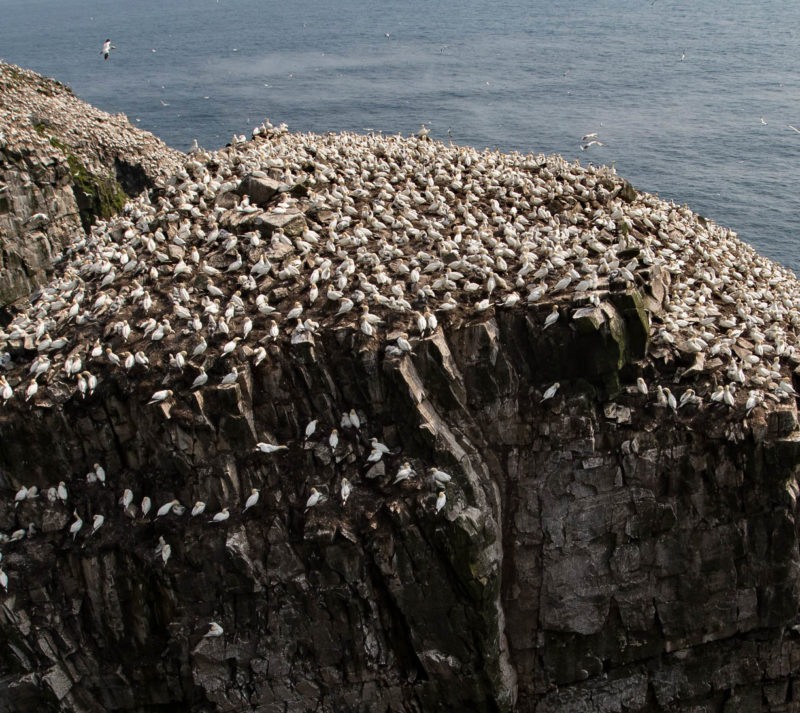 Social distancing is common within seabird colonies such as those of northern gannets
