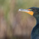 The double-crested cormorant is one of the great winners over the past 25 years in Virginia