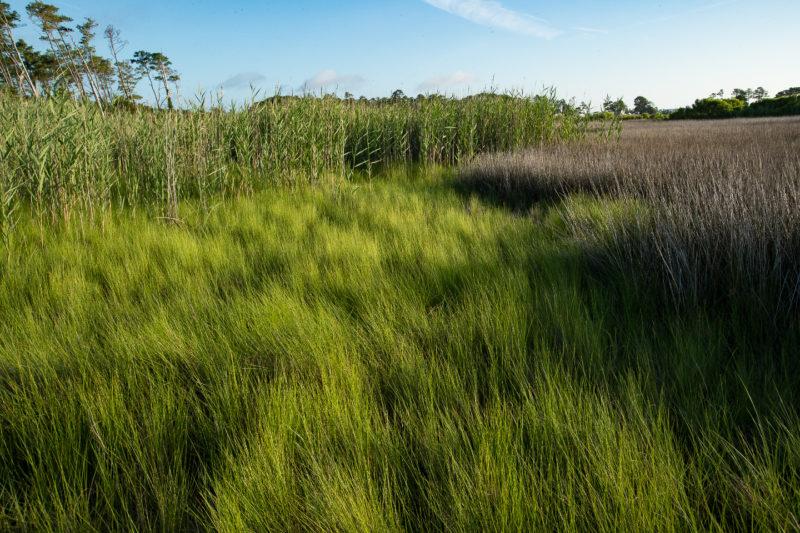 Traditional high-marsh breeding habitat for eastern black rails within the mid-Atlantic region.