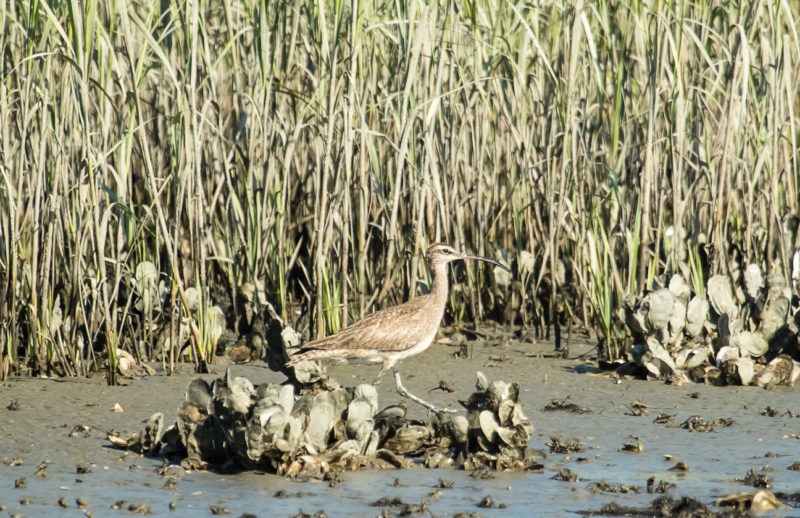 Whimbrel forages along a dense stand of cordgrass