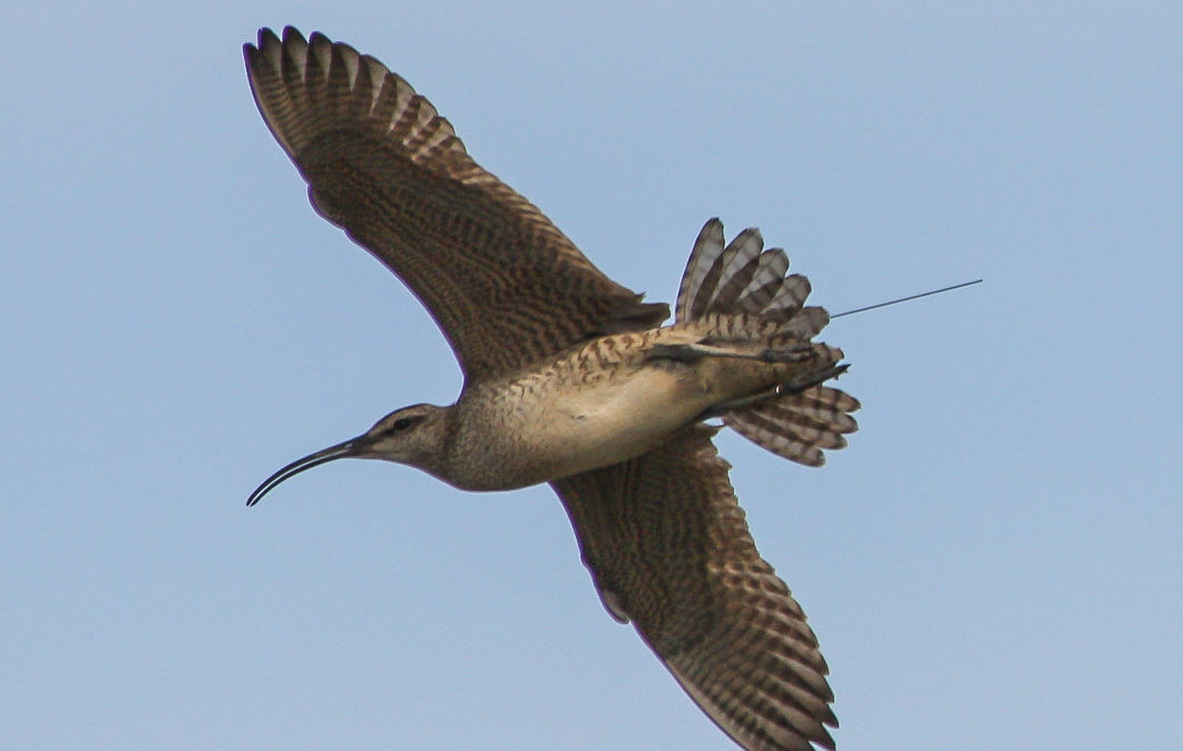 Whimbrel in flight with transmitter antennae extending beyond the tail.
