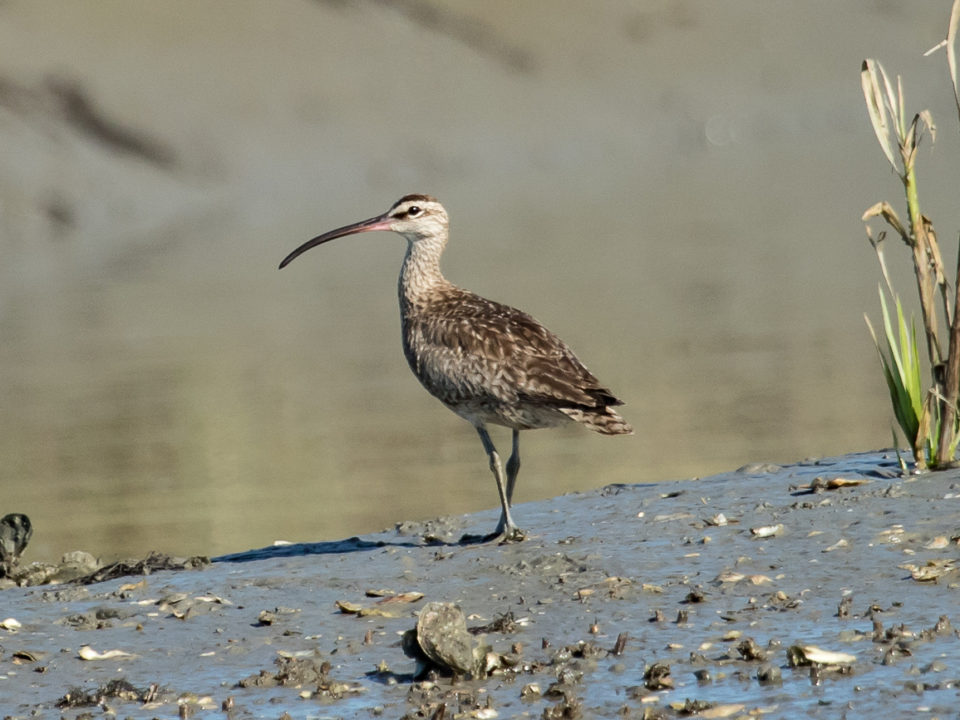 Whimbrel staging along the Delmarva Peninsula in Virginia