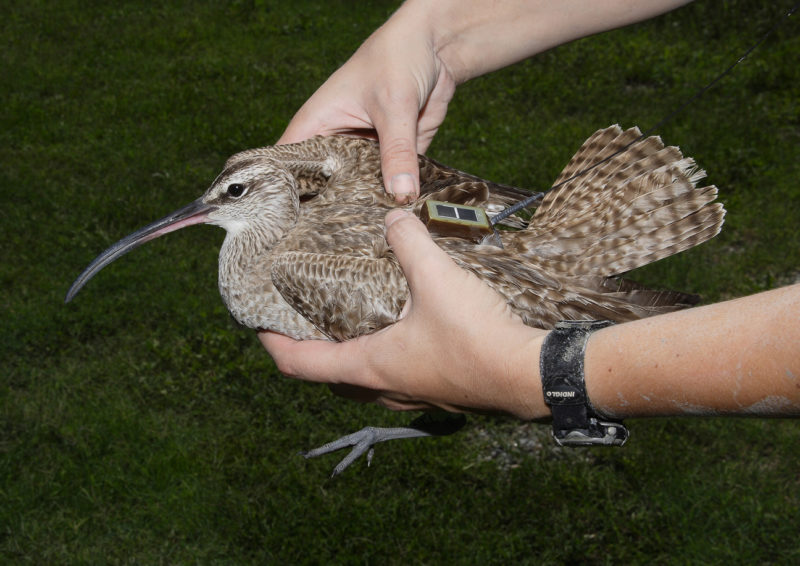 Whimbrel with satellite transmitter attached.