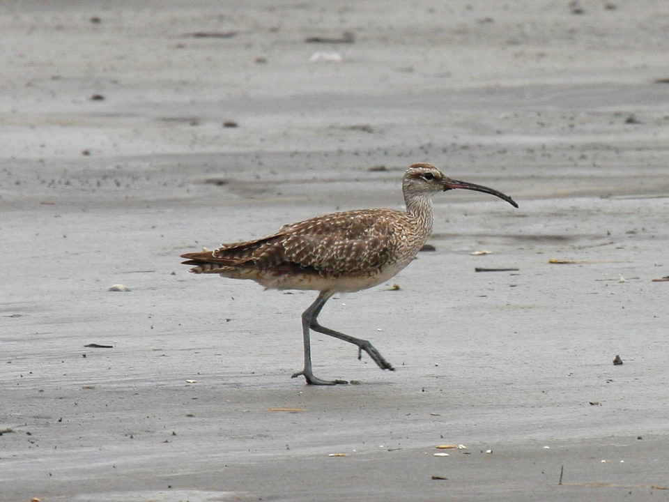Whimbrels and scores of other shorebirds that depend on mudflats along the northern coast of Brazil