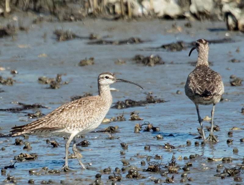 Whimbrels arrive on the Delmarva thin and underweight but gain