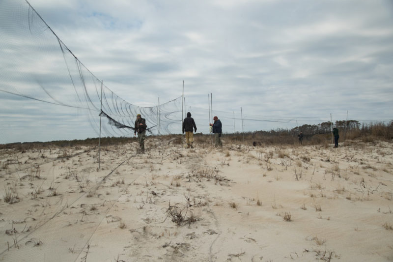 Winter crew sets up mist nets in the dunes of Assateague Island to capture Ipswich sparrows