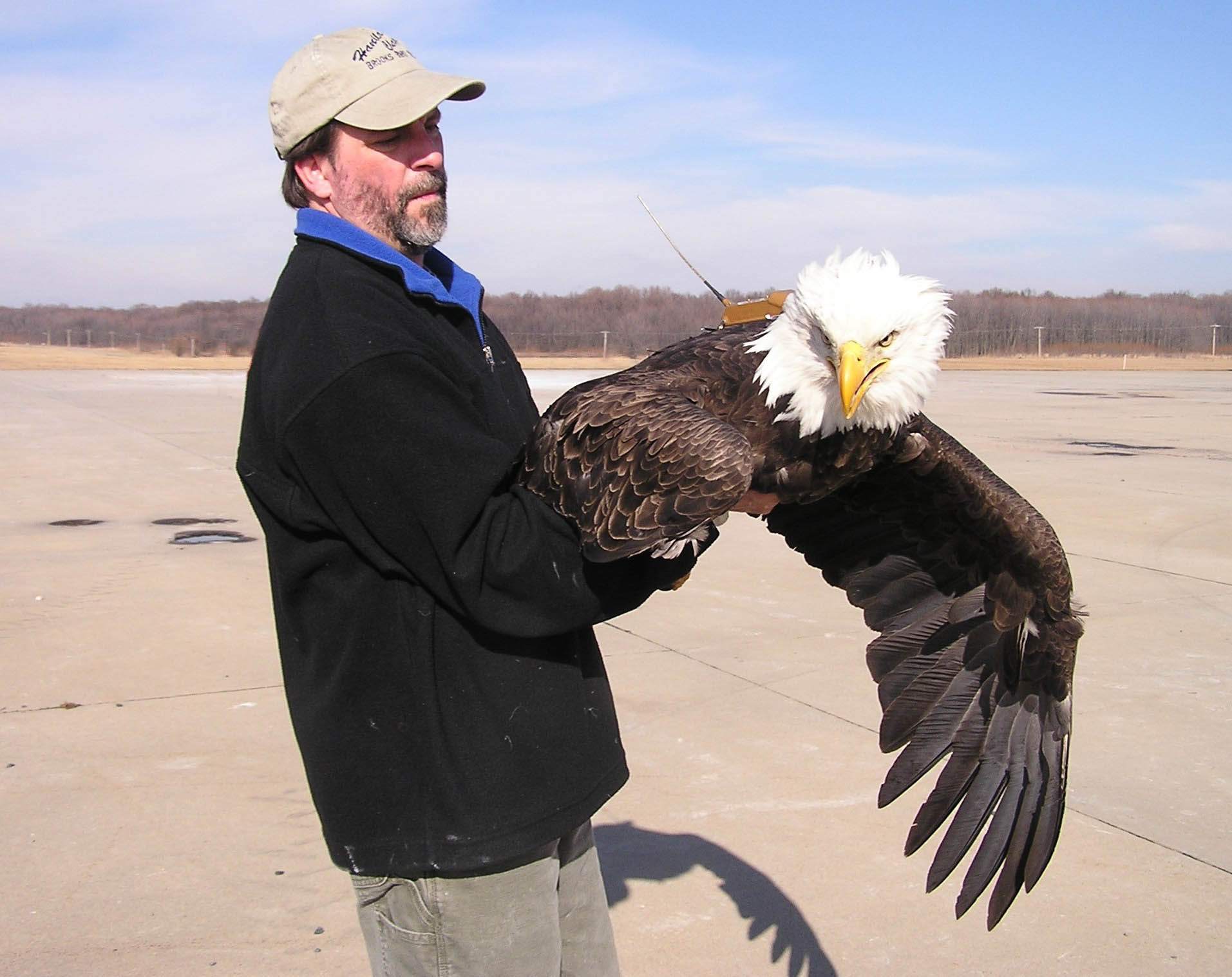 adult bald eagle held by Bryan Watts is wearing a state-of-the-art satellite transmitter